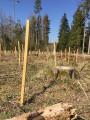 Im Münklinger Tannwald wurden 2.250 Bäume gepflanzt
