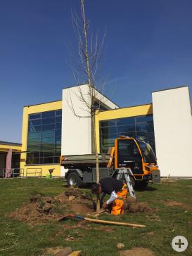 Der städtische Bauhof pflanzt u.a. am Hallenbad neue Bäume